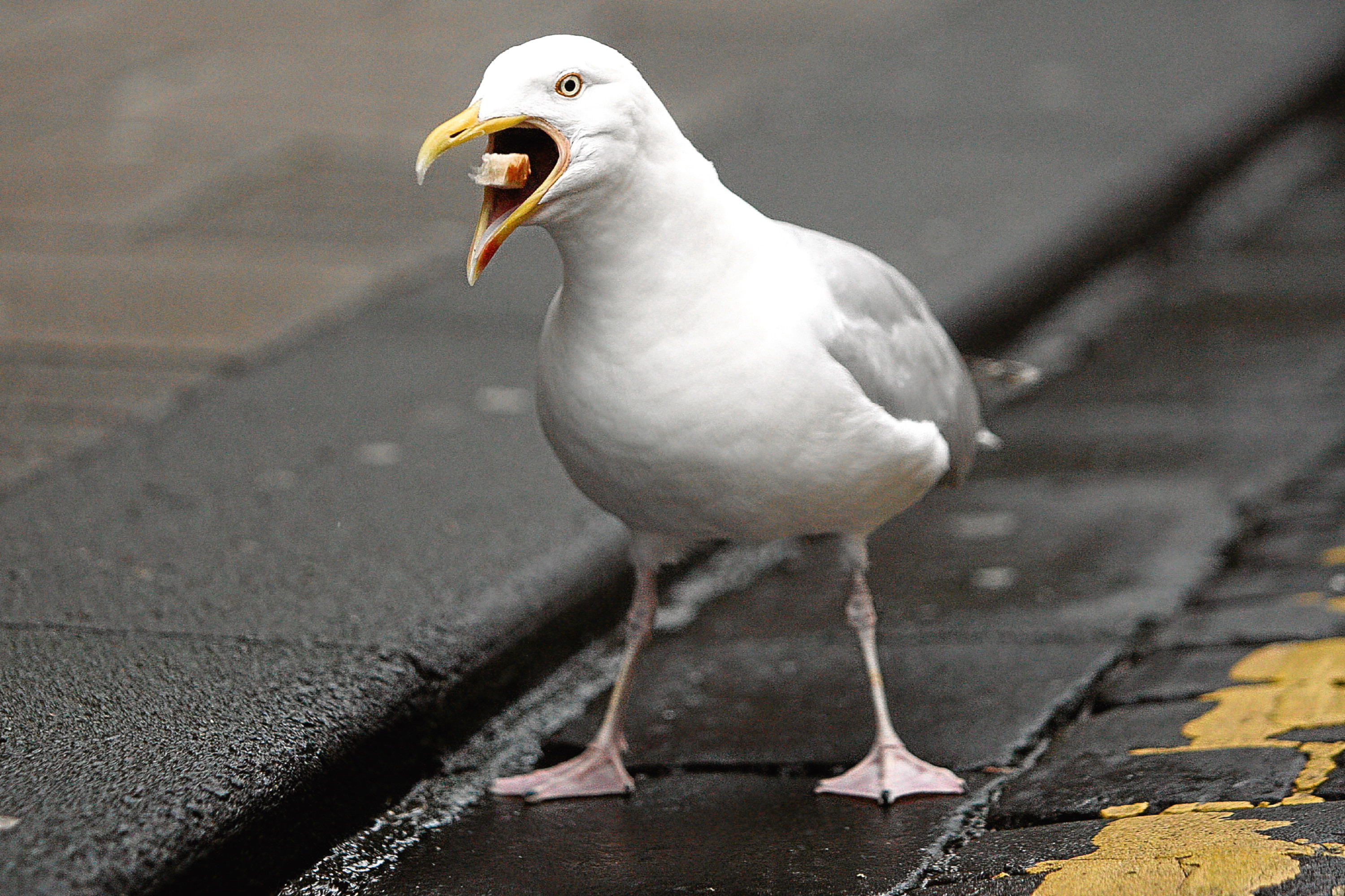 A herring gull (stock image).