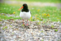 The Oystercatcher is an endangered species.
