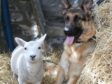 Effie the lamb and Breagha the German Shepherd who have become best friends.