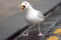 Seagulls have been terrorising residents in Monifieth