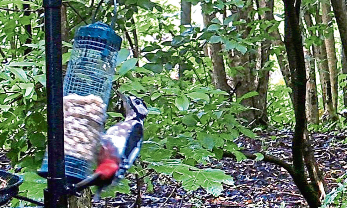 A woodpecker spotted via the 'nature watch' cameras in the Whorterbank Community Garden in Lochee.