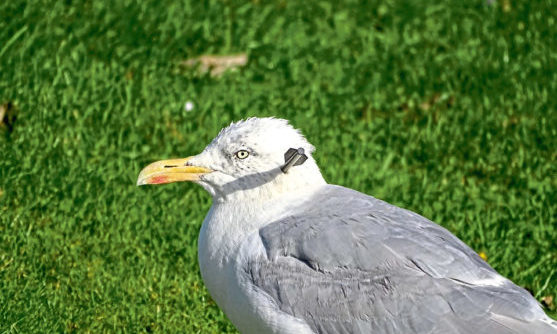 The gull in Elgin was shot with what is thought to have been an arrow from a  crossbow.