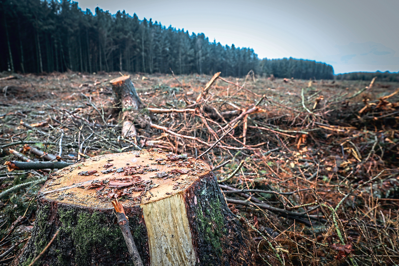 The felled trees near Piperdam.