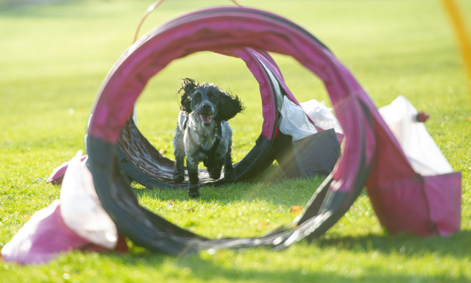 Cocker Spaniel, Scallie demonstrates the Hoopers on the Wildside course.
