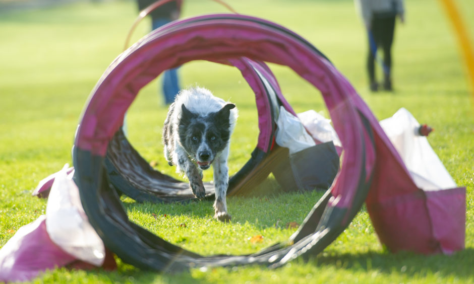 Collie Blue demonstrates the Hoopers on the Wildside course.