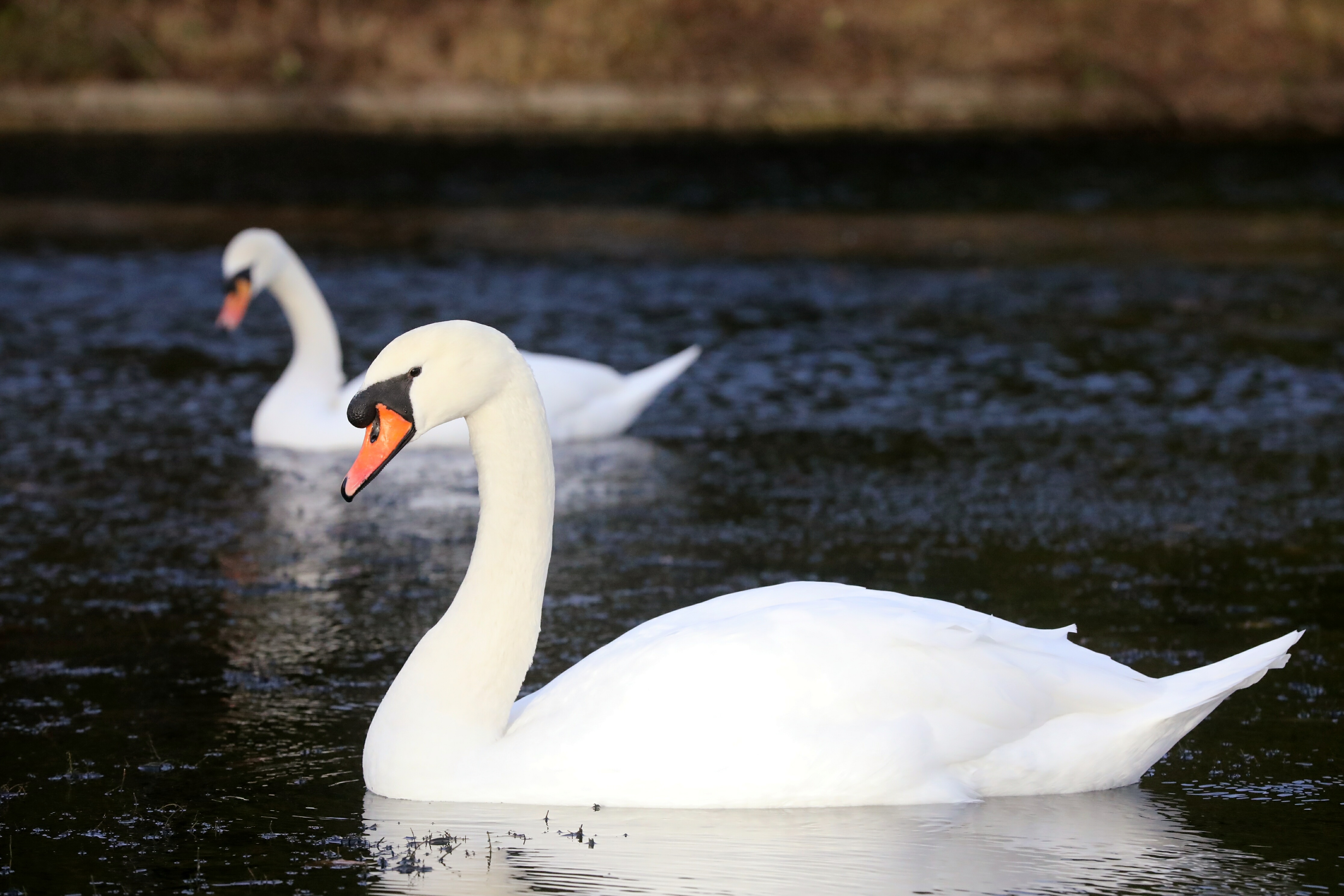 The swans at Swannie Ponds.