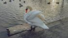 The swan who has been acting aggressively to people at the Swannie Ponds.