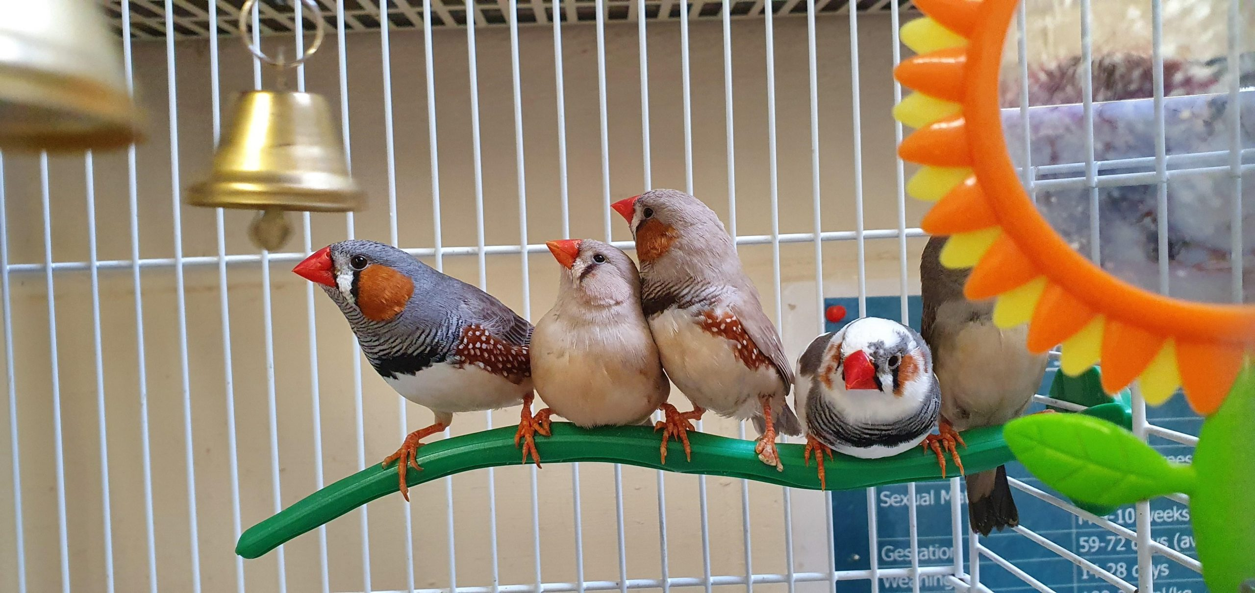 Zebra finches which are looking for new homes.