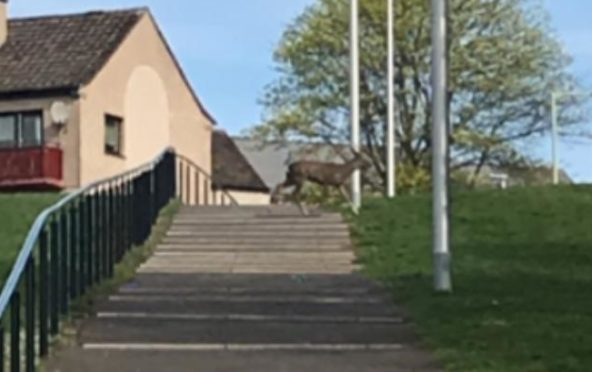 Doug Bruce and his daughter spotted this deer walking through Fintry when they went out for a walk