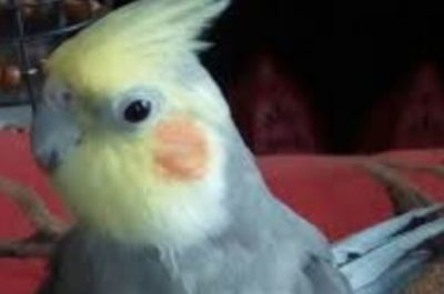 A cockatiel of the same species and appearance as Spike.