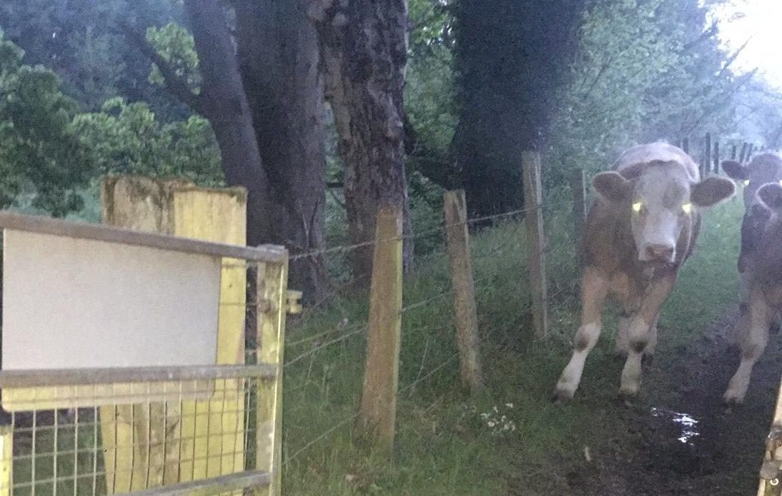 A cow was poisoned and seven others escaped.