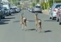Two deer were spotted strolling down a Monifeith street in broad daylight.