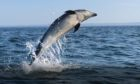 One of the dolphins performing a trick off the coast of Buddon Ness.