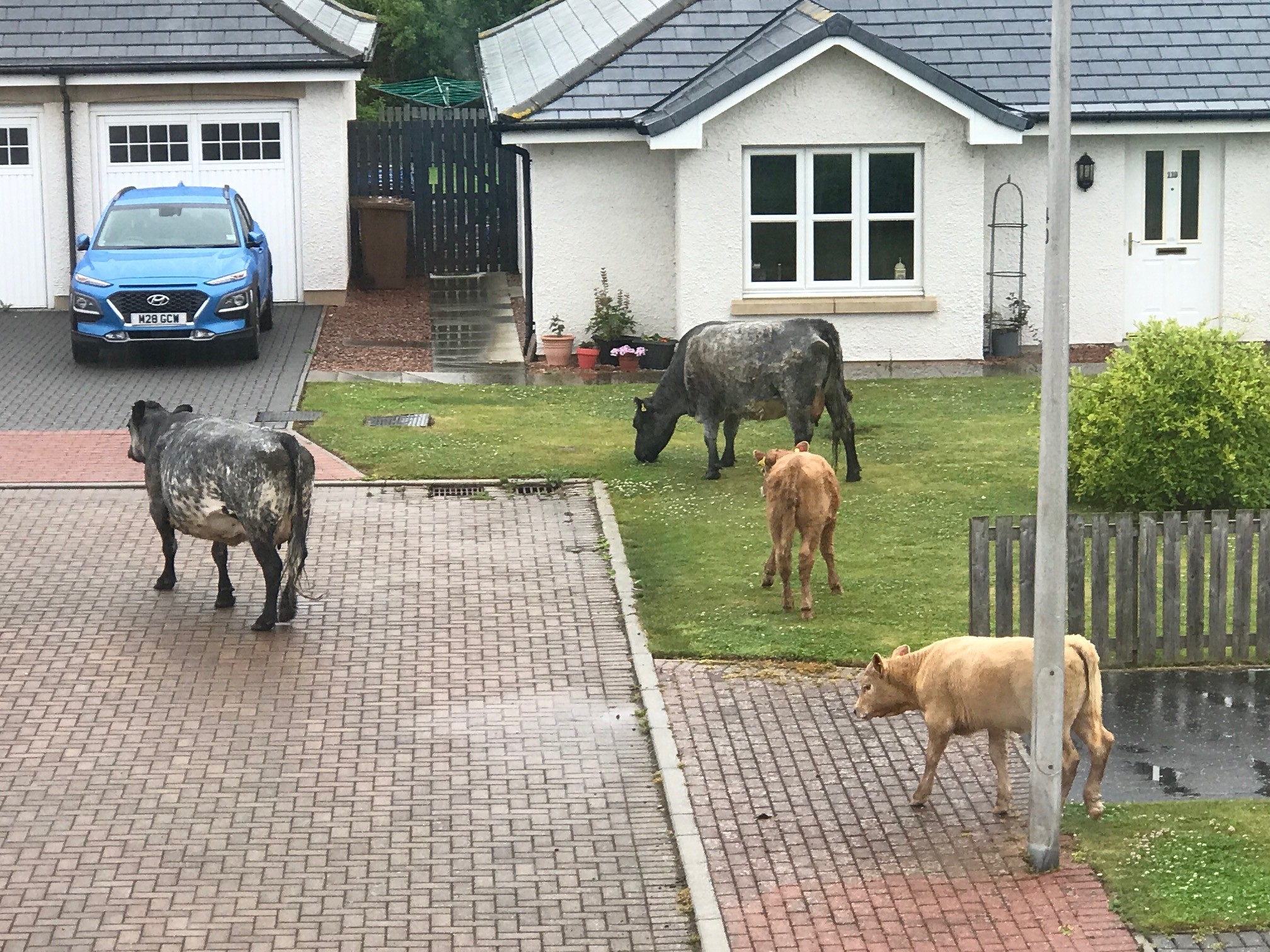 Cows were surprise visitors to Ferryfields in Broughty Ferry on Sunday night.