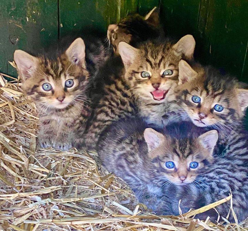 Five wildcat kittens were born at Camperdown Wildlife Centre.  (Picture: Camperdown Wildlife Centre)