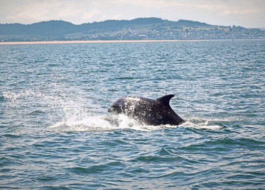 Bottlenose dolphins  in the Tay Estuary area.
