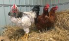 The Emperor and his hens Coco and Chanel