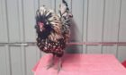 Stevie Wonder the Polish cockerel