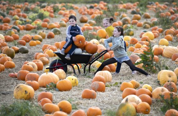 Torin Dillon, aged 3, from Dunfermline, with his sisters Alba, aged 6, and Sofia, aged 7, take part in Pumpkin picking at Craigie Farm in South Queensferry last year.
