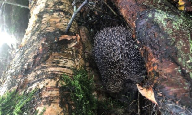 Henry the hedgehog was found in Carnoustie. Photo supplied.