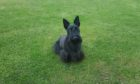 Roxi, a 10-year-old Scottie, had her teeth stuck together after chewing on a parcel.