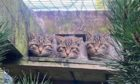 Wildcat kittens bred at Camperdown Wildlife Centre.