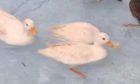 The ducks which were taken.