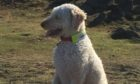 Dylan the Labradoodle