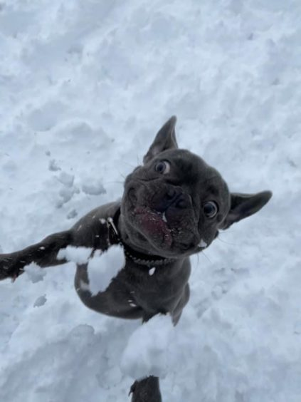 Manny Ballantine, a six month old Frenchie loving his first snow experience.