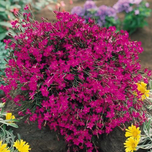Dianthus Deltoids.