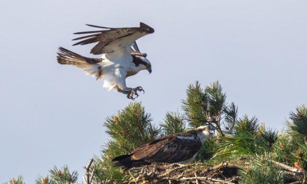 Angus osprey returns home