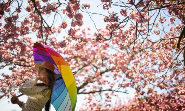 """A woman poses for a photograph with a rainbow umbrella in an avenue of blossom trees in bloom in Greenwich Park, south London, ahead of BlossomWatch day which takes place on Saturday, with the National Trust encouraging members of the public to share their own images online and """"spread the joy of spring with others"""". Picture date: Friday April 23, 2021. PA Photo. Photo credit should read: Victoria Jones/PA Wire"""