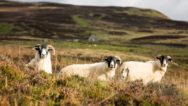 Sheep mauled Perthshire