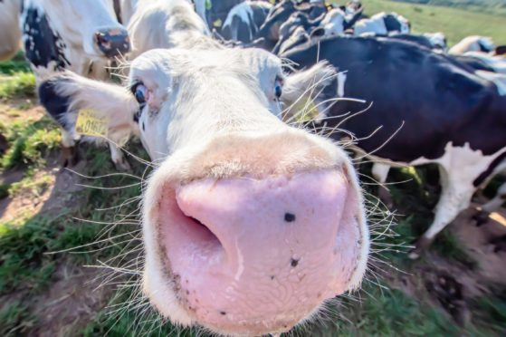 White cow close up portrait on pasture.Farm animal looking into camera with wide angle lens.Funny and adorable animals.Cattle Uk.Big, oversized and pink cow nose.; Shutterstock ID 1192278301; Job: Farming; 9c41e044-8c32-40ab-9628-b7f6a02b5d6a