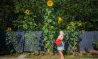 perth sunflowers