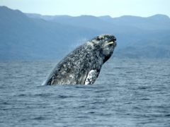 An Atlantic gray whale, one of two species believed to have been wiped out in the Mediterranean by ancient Roman whalers. (NOAA/PA)