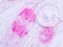 The researchers said it was clear from the model the movement of each chromosome depended on individual cells (Sinhyu/Getty Images)