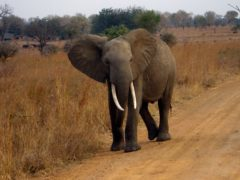 Elephants have a resurrected 'zombie gene' that protects them from cancer, research has shown (Eleanor Yarisse/PA)