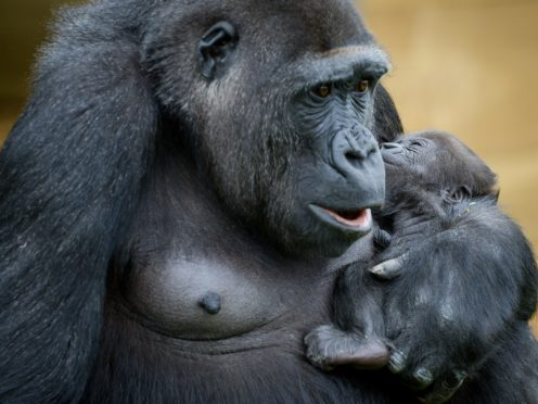 Mining of special metals for use in handsets has long blighted gorilla habitats (Ben Birchall/PA)