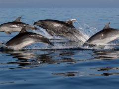 Bottlenose dolphins in the Gulf of Trieste in the northern Adriatic sea (Ana Hace/University of St Andrews/PA)