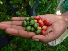 Studies have found 60% of wild coffee species are threatened with extinction, with impacts for one of the world's favourite brews (Aaron Davis, RBG Kew/PA)