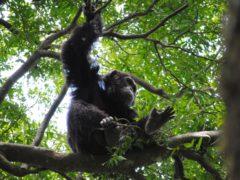 Chimpanzee gestures follow some of the same 'rules' as human language, a study has found (David Samson/PA)