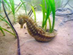 Spiny seahorses are among the species benefiting from protection (Julie Hatcher/Dorset Wildlife Trust/PA)