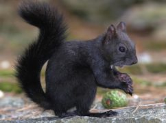 Black squirrels are the result of grey squirrels interbreeding, scientists say (Anglia Ruskin University/PA)