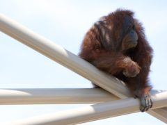 Knobi, a 36-year-old orangutan involved in the study (Ian Nichols/University of St Andrews/PA)