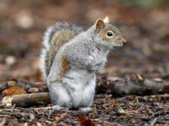 Grey squirrels eavesdrop on the chatter of nearby songbirds to figure out when danger has passed, scientists say (Peter Byrne/PA)