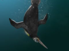 The ancient Kupoupou stilwelli penguin 'bridged the gap between an extinct giant penguin and modern relatives' (Jacob Blokland/Flinders University/PA)