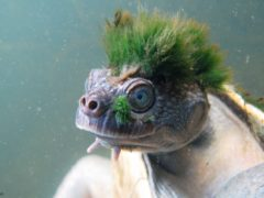 Punk-haired Mary River turtle (Chris-Van-Wyk/ZSL)
