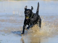 Scientists say dogs experience puberty (Julia Hoyle/PA)