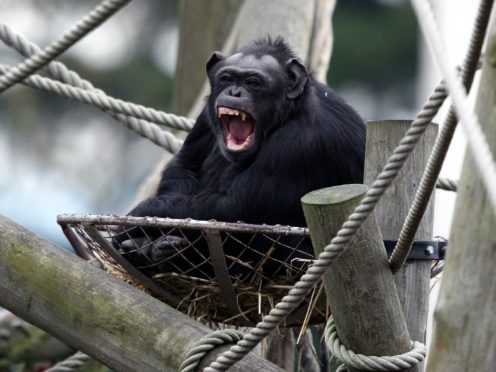 Scientists have found that the voice box in primates such as gorillas, chimpanzees and baboons is 'significantly larger' in relation to their body size (Andrew Milligan/PA)